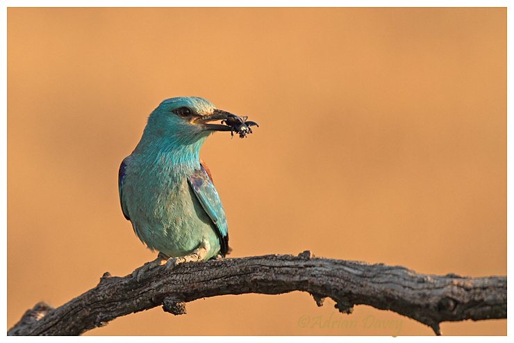 European Roller with Beetle