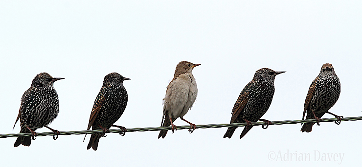 Juvinile Rose Coloured Starling