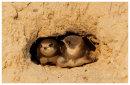 Sand Martin .juveniles in nest entrance.