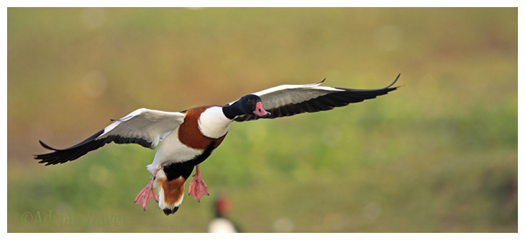 Shelduck coming in to land