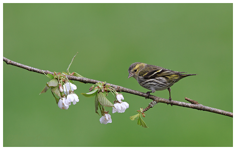 Female Sisken (Carduelis spinus )