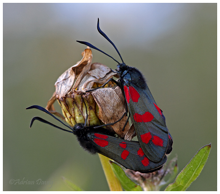 Six Spot Burnet Moths