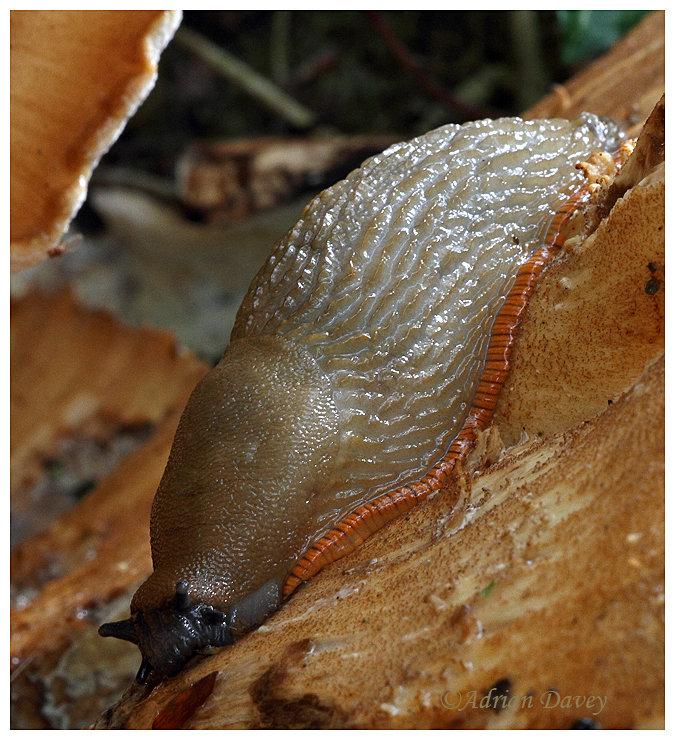 Slug (Form of  Large Black I think?)