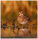 Snipe at first light