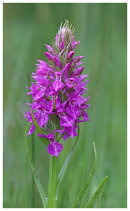 Souther Marsh Orchid