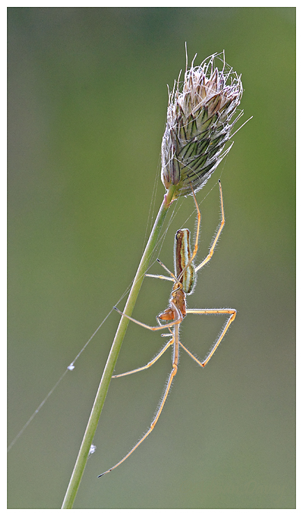 Long Jawed Orb Weaver 4