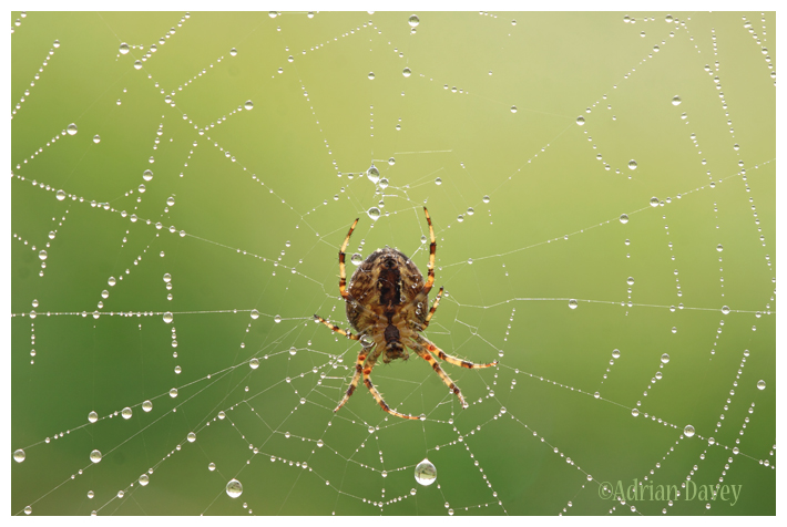 Garden Spider on Dewey Web
