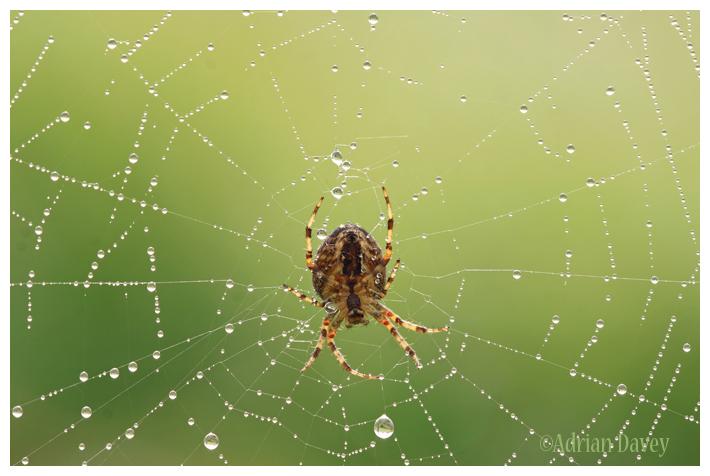 Garden Spider on Dewey Web