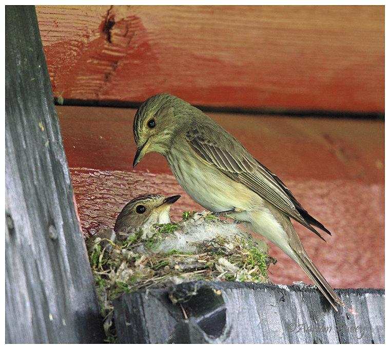 Spotted Flycatchers at nest