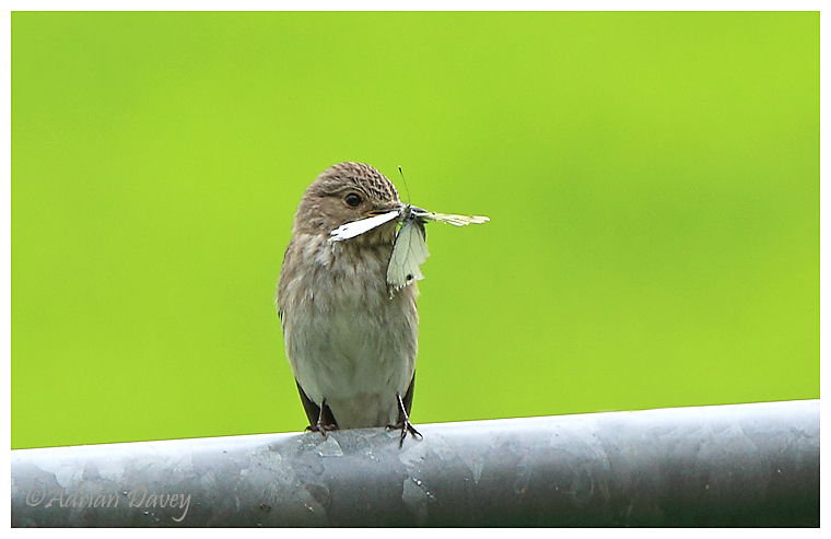 Spotted Flycatcher, with Butterfly