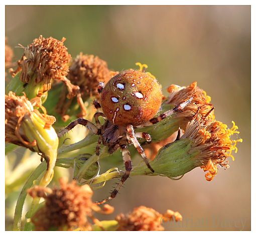 Four Spot Orb Spider