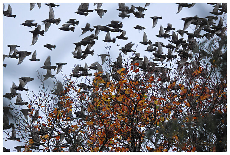 Starling flock taking off from beech tree