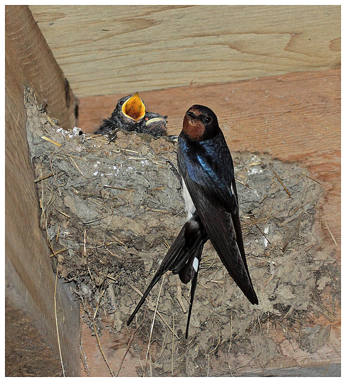 Swallow at nest