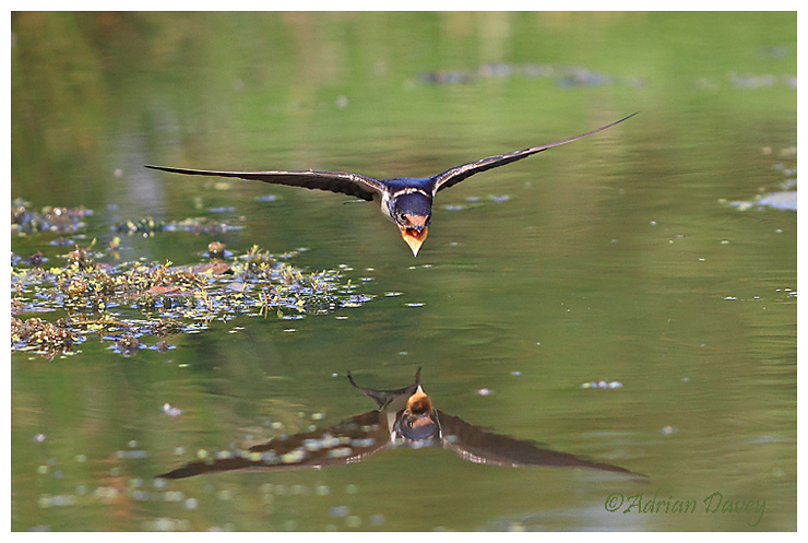 Swallow coming in to drink 2.