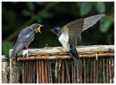 Swallow. Adult feeding juvinile 1
