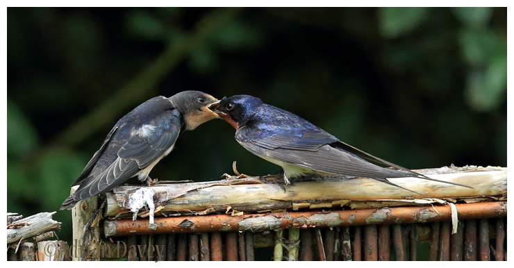 Swallow.Adult feeding juvinile 2