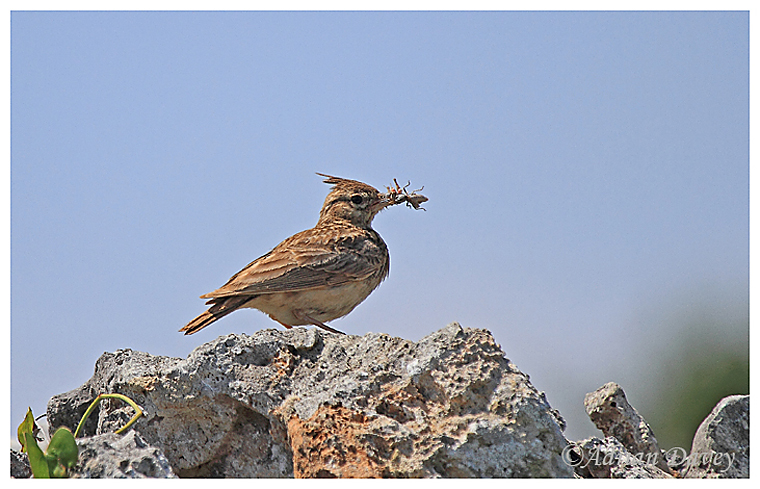 Thekla Lark with a mouthful of food for its young
