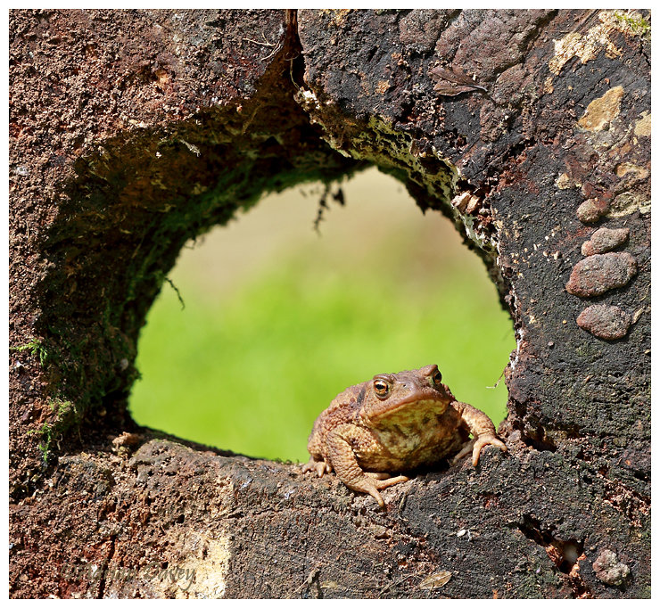 Common Toad ( in a hole)