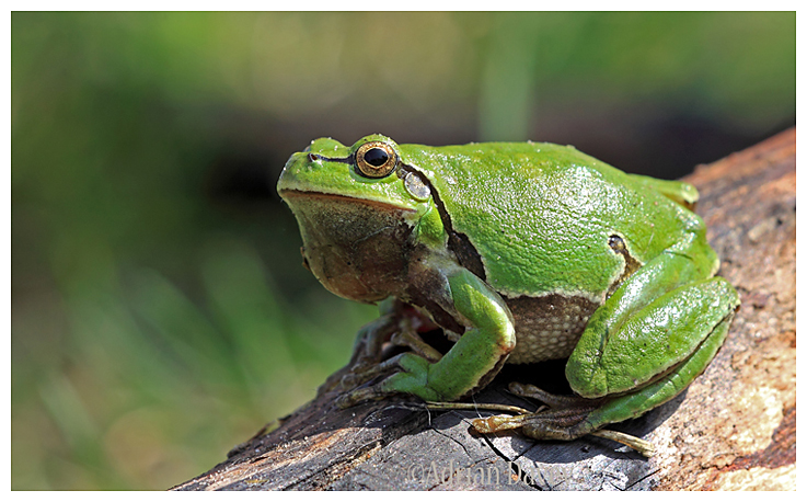 European Tree Frog. (Hyla arborea )