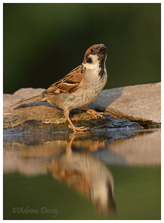 Sparrow at drinking pool