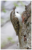 Treecreeper with food for young