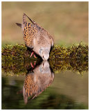 Turtle Dove drinking
