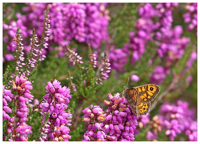 Wall Brown on Heather.