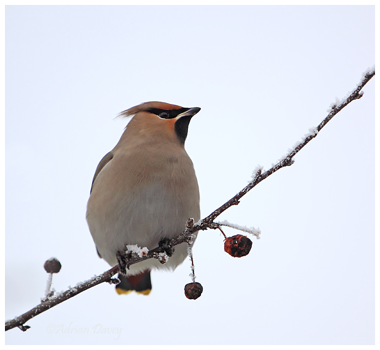Waxwing on frosty branch