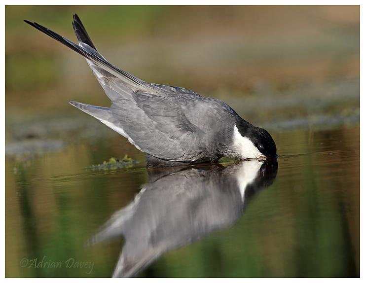 Whiskered Tern drinking