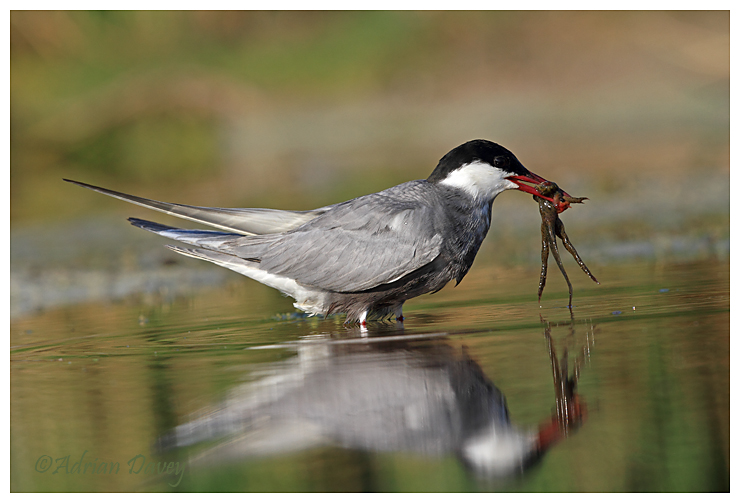 Whiskered Tern with catch 2