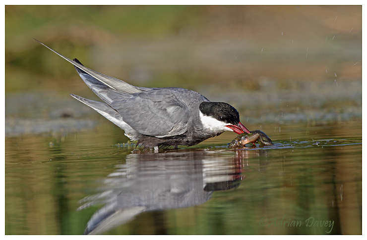 Whiskered Tern with catch 1