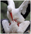 White Storks mating
