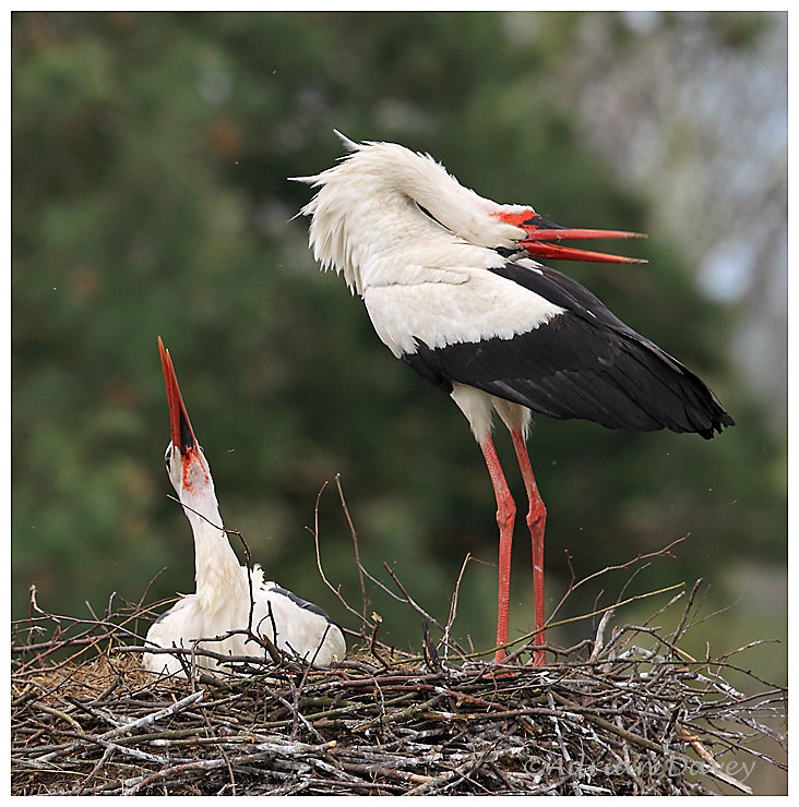 White Storks greeting