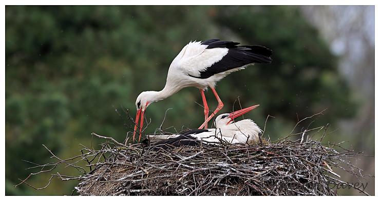 White Storks bringing in nesting material
