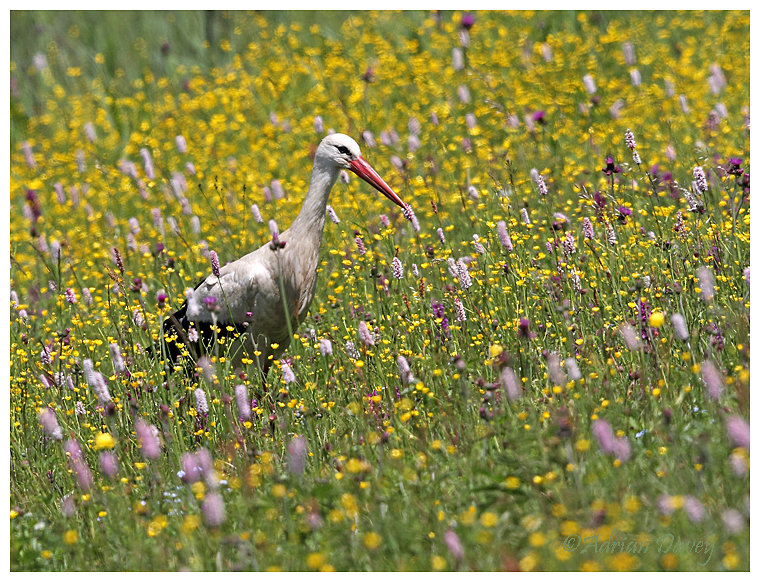 White Stork in meadow