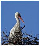 White Stork on nest