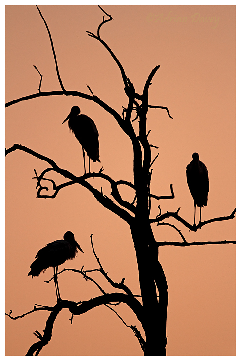 White Storks at sunrise