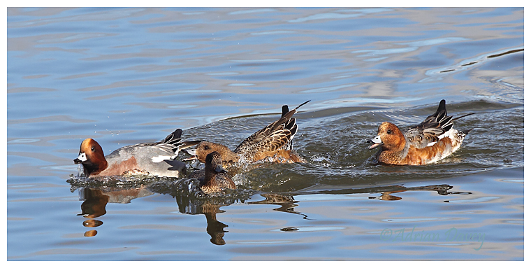 Wigeon agression.