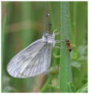 Wood White (and Ant)