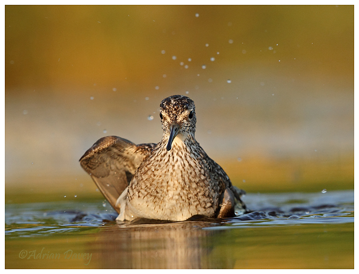Wood sandpiper bathing