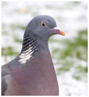Woodpigeon in the snow.