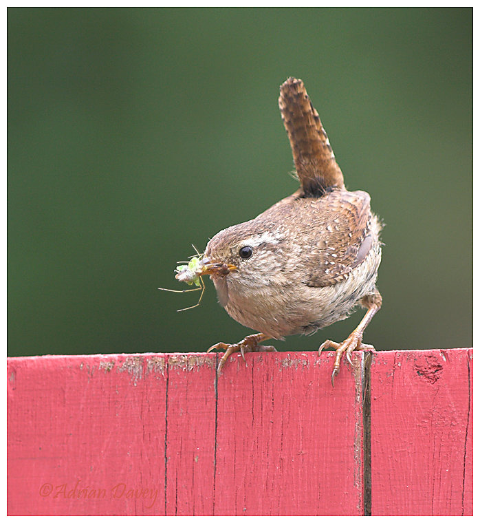 Wren with food for young