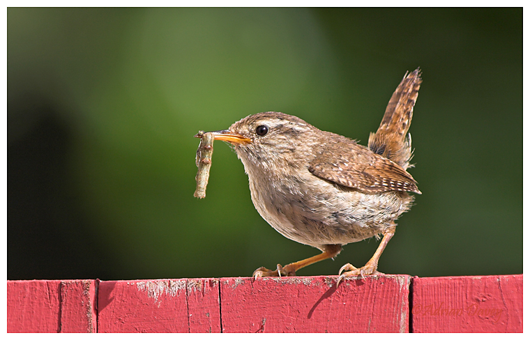Wren with Caterpiller