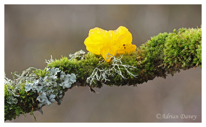 Yellow Brain Fungi