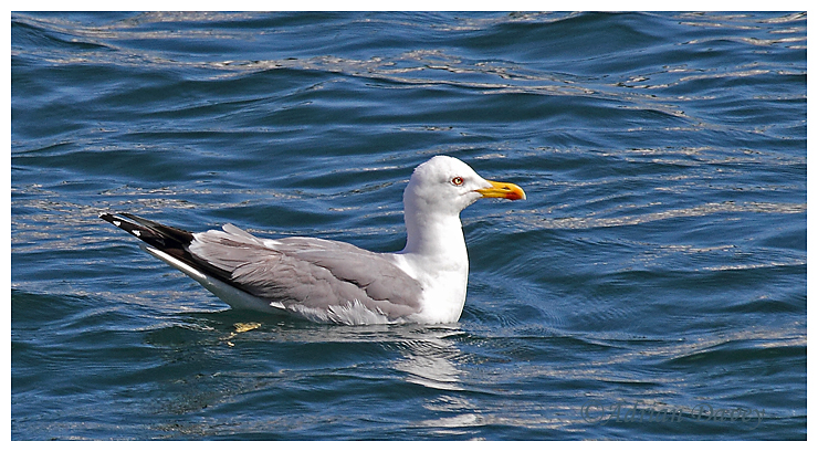 Yellow LeggedGull (Adult)