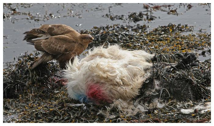 Buzzard on sheep carcass