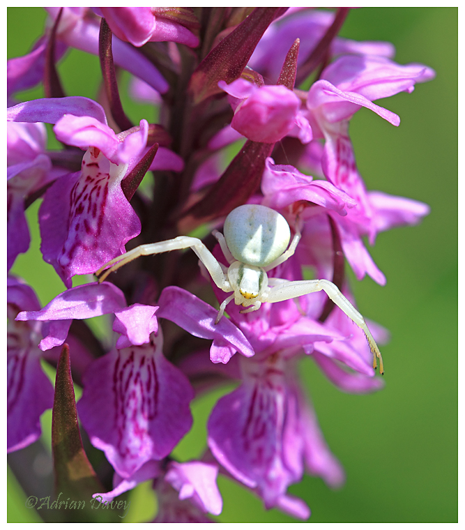 Crab Spider on Southern Marsh Orchid
