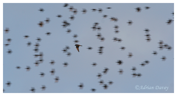Peregrine among Starlings