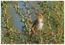 Fan Tailed Warbler or Zitting Cisticola as it is now called