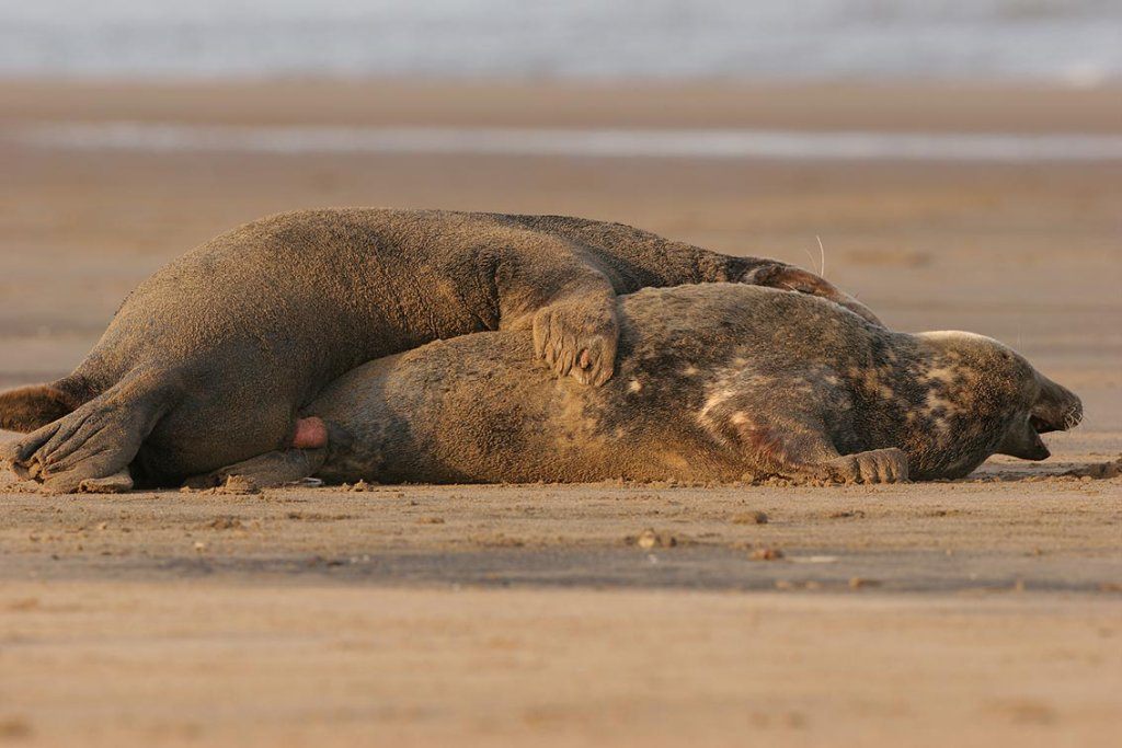 Grey seals copulating